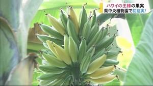 県中央植物園で12年栽培 今年初めて実った!